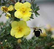 Bumble Bee on Barry Street by meadowmuffin