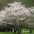 Gippsland Trees in Blossom by Bev Pascoe