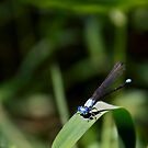 Damselfly on Green Blade by Kenneth Keifer