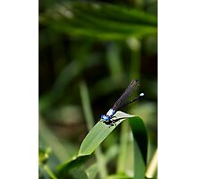 Damselfly on Green Blade Photographic Print
