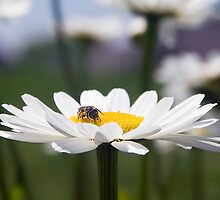 Little Bee on Shasta Daisy by Kenneth Keifer