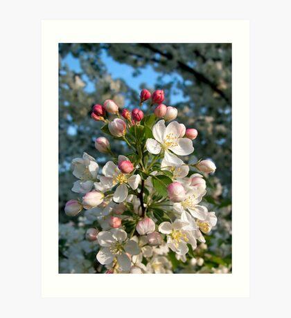White Crab Apple Blossoms Art Print