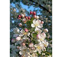White Crab Apple Blossoms Photographic Print