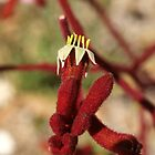 Red Kangaroo Paw by kalaryder