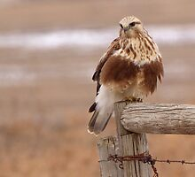Prairie Hawk (1) by JamesA1