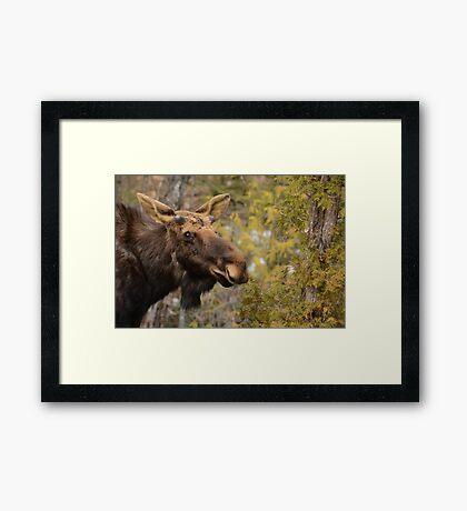 Spring Bull Moose Framed Print