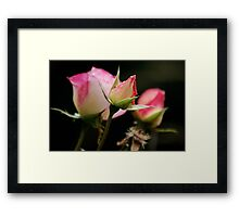 Life of a Rose Framed Print