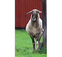 My father was a cameroon sheep Photographic Print