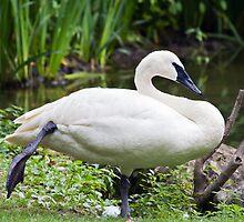Trumperter Swan Standing At Rest by Kenneth Keifer