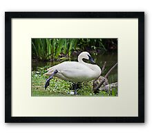 Trumperter Swan Standing At Rest Framed Print