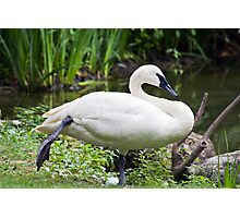Trumperter Swan Standing At Rest Photographic Print