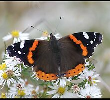 Red Admiral... by pieceoflace