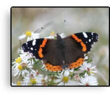 Red Admiral... Canvas Print