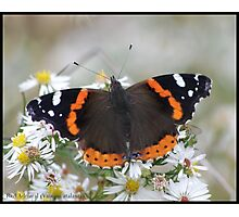 Red Admiral... Photographic Print