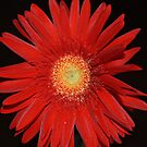 RED GERBERA  by Marie Brown ©