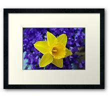 Easter Daffodil Framed Print