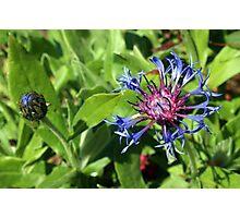 Blue Cornflower Photographic Print