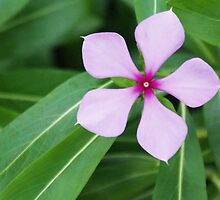 Pentagon Five Petal Purple Flower by David Alexander Elder