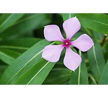 Pentagon Five Petal Purple Flower Photographic Print