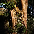 Sunlit Yew by Alison Scotland
