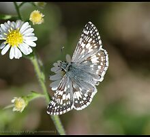 Common Checkered Skipper... by pieceoflace