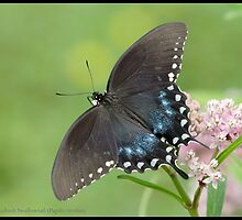 Spicebush Swallowtail... by pieceoflace