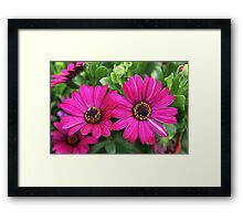 Twin Pink Daisies Framed Print