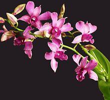 Marco Polo Orchid by David Alexander Elder