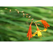 Orange and Yellow Perenial Photographic Print
