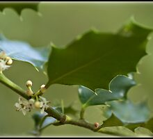 Holly leaves by Wealie