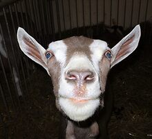 Goat Portrait by Barberelli