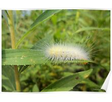 Hairy White Caterpillar  Poster