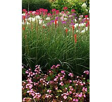 Red Poker Garden Flower Bed Photographic Print
