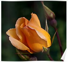 Perfectly Peach Rose Poster