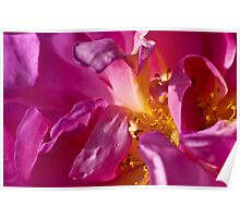 Pink and yellow rose stamen Poster