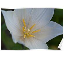 White Tulip Close Up Poster