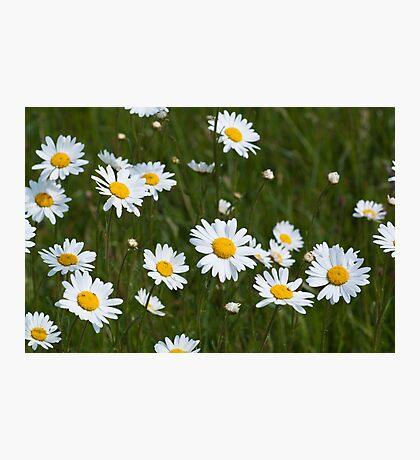 Large white daisies Photographic Print