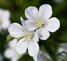 Silky White Flowers by Wealie