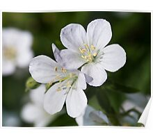 Silky White Flowers Poster