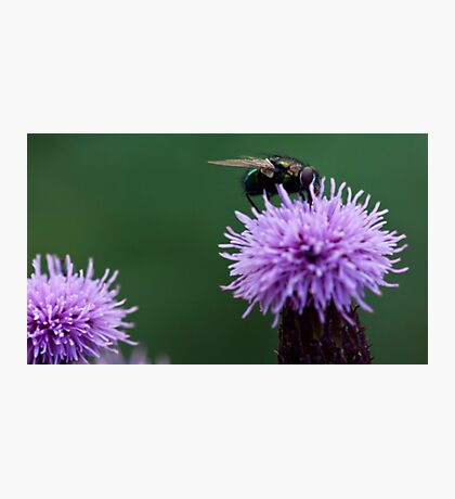 Fly on a thistle Photographic Print