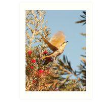 Spread your wings - South Australia honeyeater Art Print