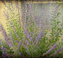 Lavender Outside Her Window by MotherNature2