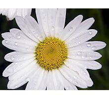 Wet Shasta Daisy Photographic Print