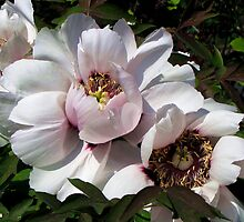 Paeonia- Suffruticosa by Irina777