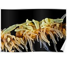 Zanzibar Shrimp Poster