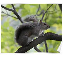Squirrel - Close Up on a Branch - Bear Mtn. - 8-11 Poster