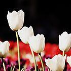 Tulips in a Row by NinaJoan