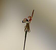 Zebra Orchid, Caladenia cairnsiana by Julia Harwood