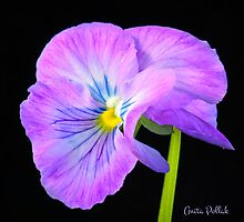 Purple Pansy by Anita Pollak