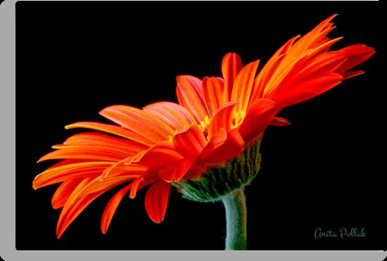 Orange Gerbera Daisy by Anita Pollak